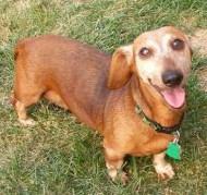 Sabrina; photo from Dachshund Rescue of North America