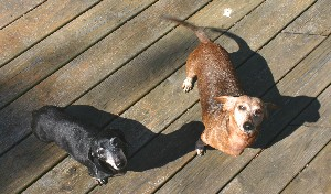 Dachshunds Roxy (left) and newbie Sabrina