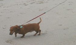 Stumpy pulling his human companion on the beach