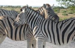 Zebra in Etosha park, Namibia