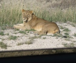 Lion in Etosha park, Namibia
