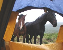 Horses Atlan and Arkell are patiently waiting outside the tent.