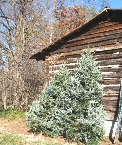 A good 90 to 95 percent of all NC tree sold are fraser firs