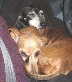 Dachshunds Roxy (top) and Sabrina took a 12-hour nap in Diane's lap