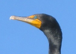 Cormorant's green eyes