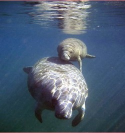 Manatee and her calf swim near kayaker holding a camera underwater (photo Steve Sapienza)