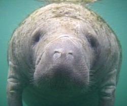 Manatee swims near kayaker holding a camera underwater (photo Steve Sapienza)