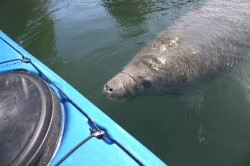 Manatee almost touches Wessel`s kayak