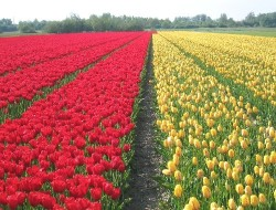 Dutch tulip fields nearby the Keukenhof in the Netherlands