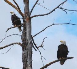Bald eagles in the Chilkat Valley