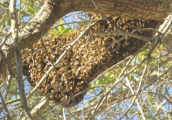 A big blob of bees is hanging from a branch