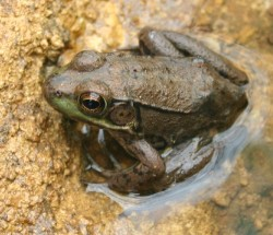 Here's a cousin of the spring peeper doing its part of the spring chorus