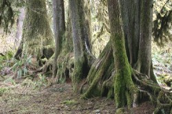 This row of trees in Hoh Rain Forest once strarted as seedlings on a nursing log
