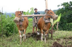 This farmer in Lombok, Indonesia plows with an ox-plow