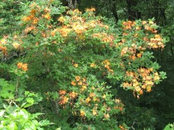 The Parkway is famous for native flame azalea