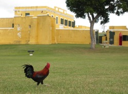 A rooster wanders the grounds of Fort Christiansvaern in Christiansted, built in 1738