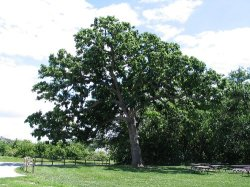 Morton Oak in Nebraska City, Nebraska