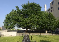 American elm at the Oklahoma City National Memorial & Museum