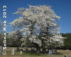 Dogwood at Matthis Family Cemetery in Clinton, NC