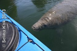 Manatees got close to Lina and me in Crystal River in 2008