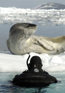 Polar snorkeling with a seal (photo Goran Ehlme - Waterproof Expeditions)