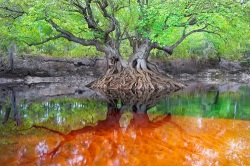 An Ogeechee tupelo tree on an island in the Suwannee River (photo Cartlon Ward)